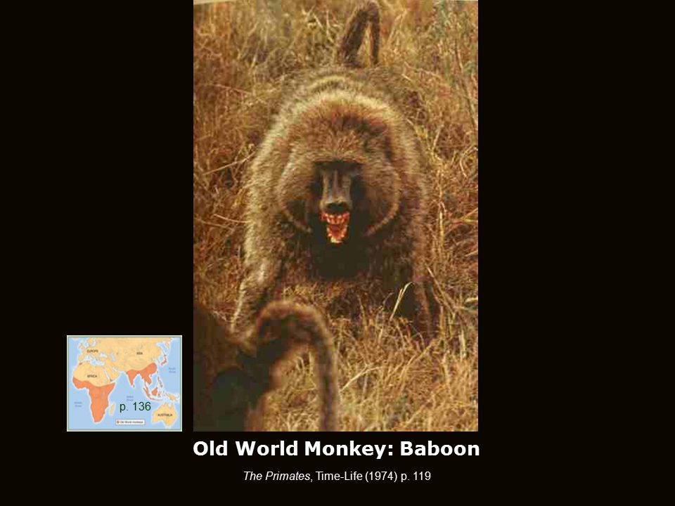 Old World Monkey: Baboon The Primates, Time-Life (1974) p. 119 p. 136