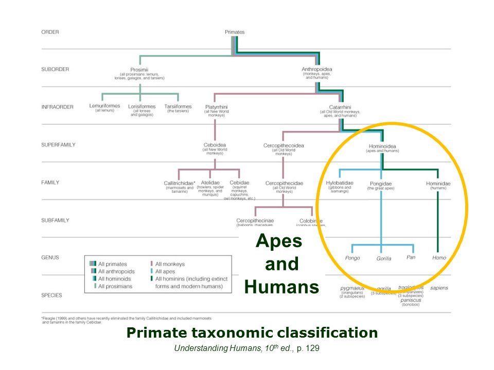Primate taxonomic classification Understanding Humans, 10 th ed., p. 129 Apes and Humans