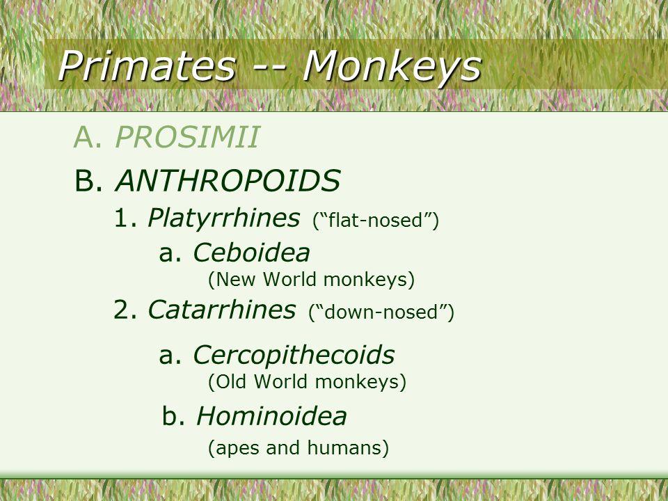 Primates -- Monkeys B. ANTHROPOIDS 1. Platyrrhines ( flat-nosed ) a.