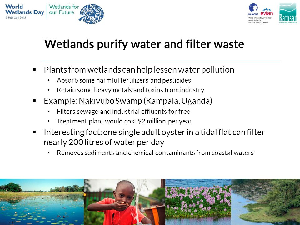 Wetlands purify water and filter waste  Plants from wetlands can help lessen water pollution Absorb some harmful fertilizers and pesticides Retain so