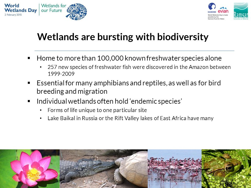 Wetlands are bursting with biodiversity  Home to more than 100,000 known freshwater species alone 257 new species of freshwater fish were discovered