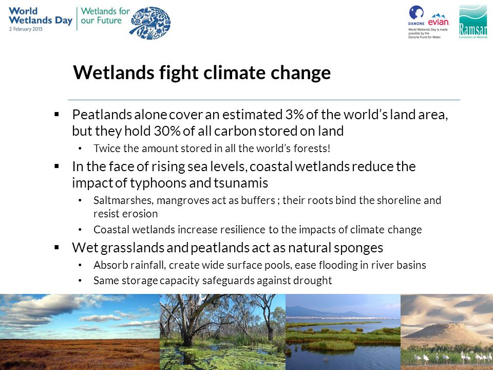 Wetlands fight climate change  Peatlands alone cover an estimated 3% of the world's land area, but they hold 30% of all carbon stored on land Twice t