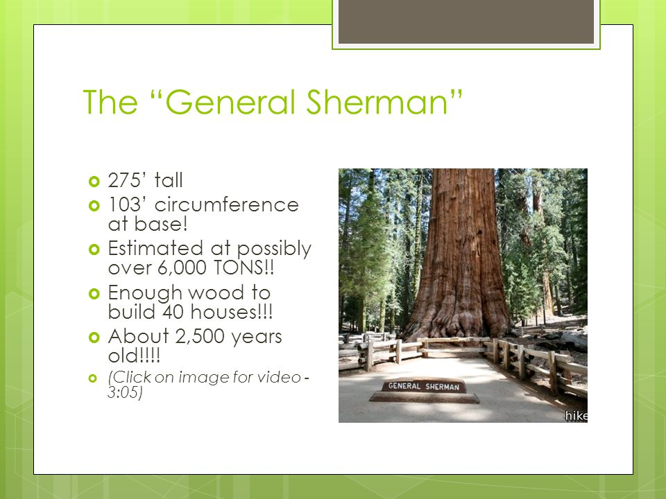 "The ""General Sherman""  275' tall  103' circumference at base!  Estimated at possibly over 6,000 TONS!!  Enough wood to build 40 houses!!!  About"