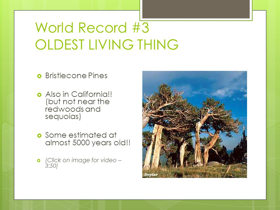 World Record #3 OLDEST LIVING THING  Bristlecone Pines  Also in California!! (but not near the redwoods and sequoias)  Some estimated at almost 500