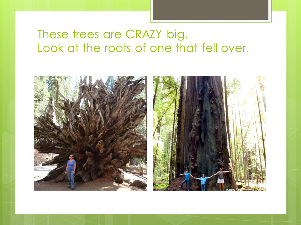 These trees are CRAZY big. Look at the roots of one that fell over.