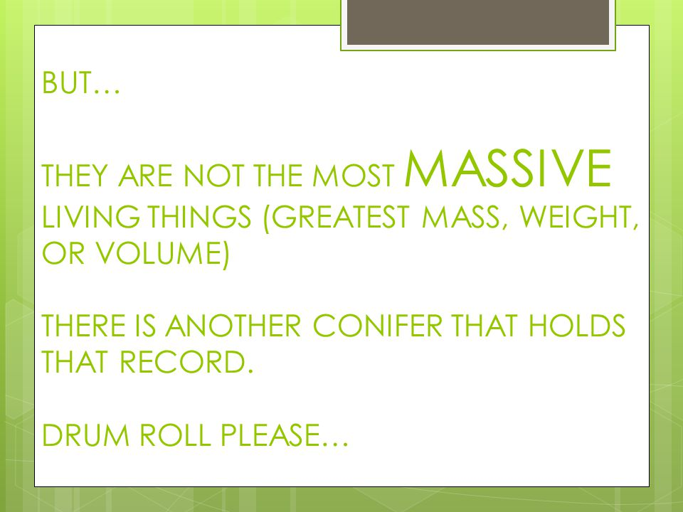 BUT… THEY ARE NOT THE MOST MASSIVE LIVING THINGS (GREATEST MASS, WEIGHT, OR VOLUME) THERE IS ANOTHER CONIFER THAT HOLDS THAT RECORD. DRUM ROLL PLEASE…