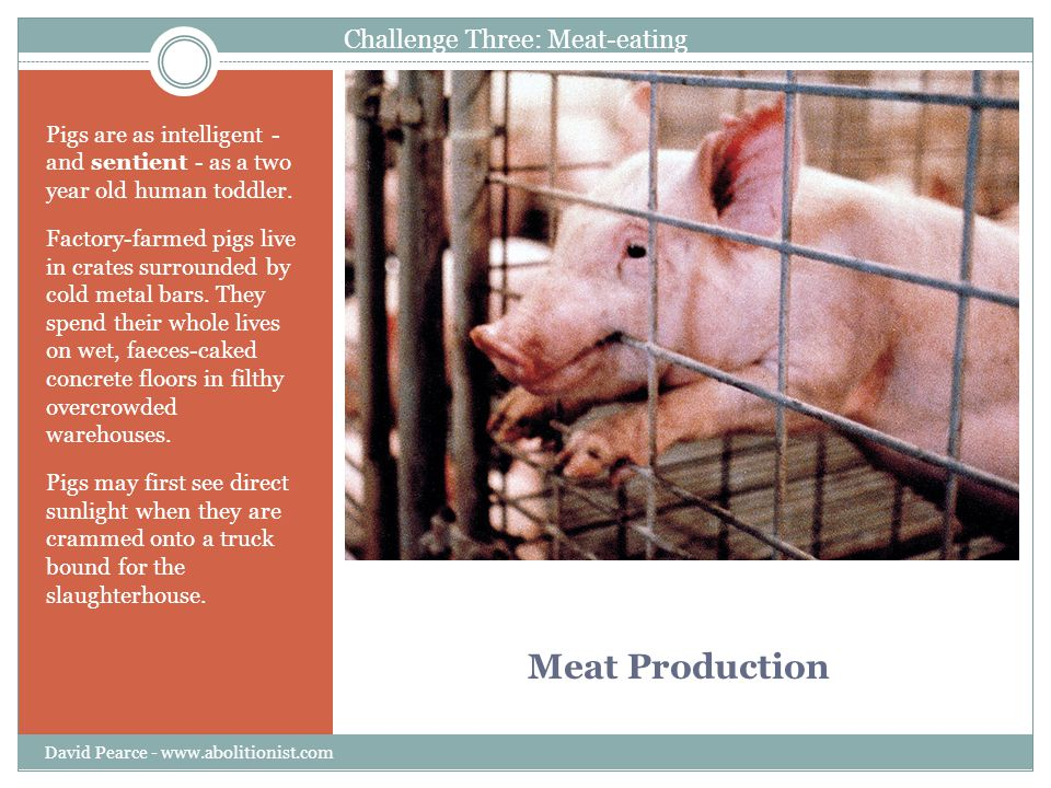 Meat Production Pigs are as intelligent - and sentient - as a two year old human toddler. Factory-farmed pigs live in crates surrounded by cold metal