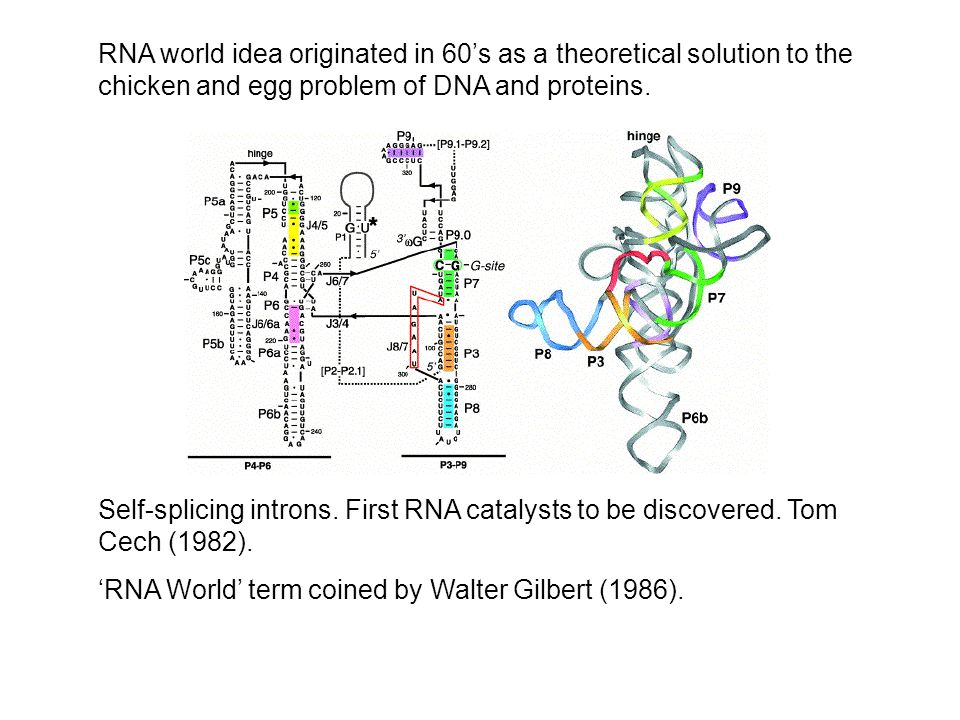 Self-splicing introns. First RNA catalysts to be discovered.