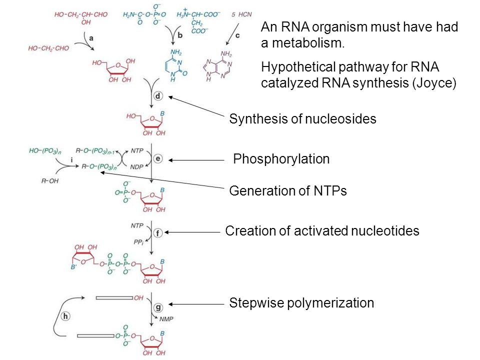 An RNA organism must have had a metabolism.