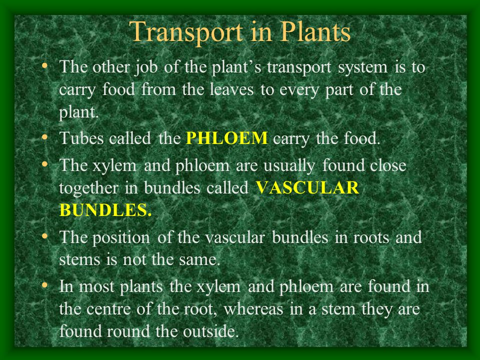 Transport in Plants The other job of the plant's transport system is to carry food from the leaves to every part of the plant.