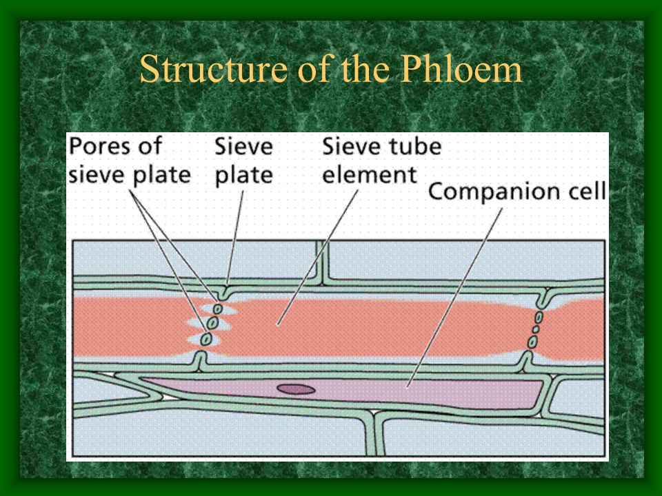 Structure of the Phloem