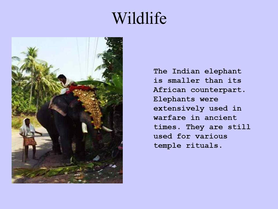 Wildlife The Indian elephant is smaller than its African counterpart.