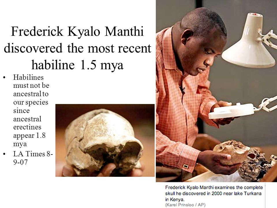 Frederick Kyalo Manthi discovered the most recent habiline 1.5 mya Habilines must not be ancestral to our species since ancestral erectines appear 1.8
