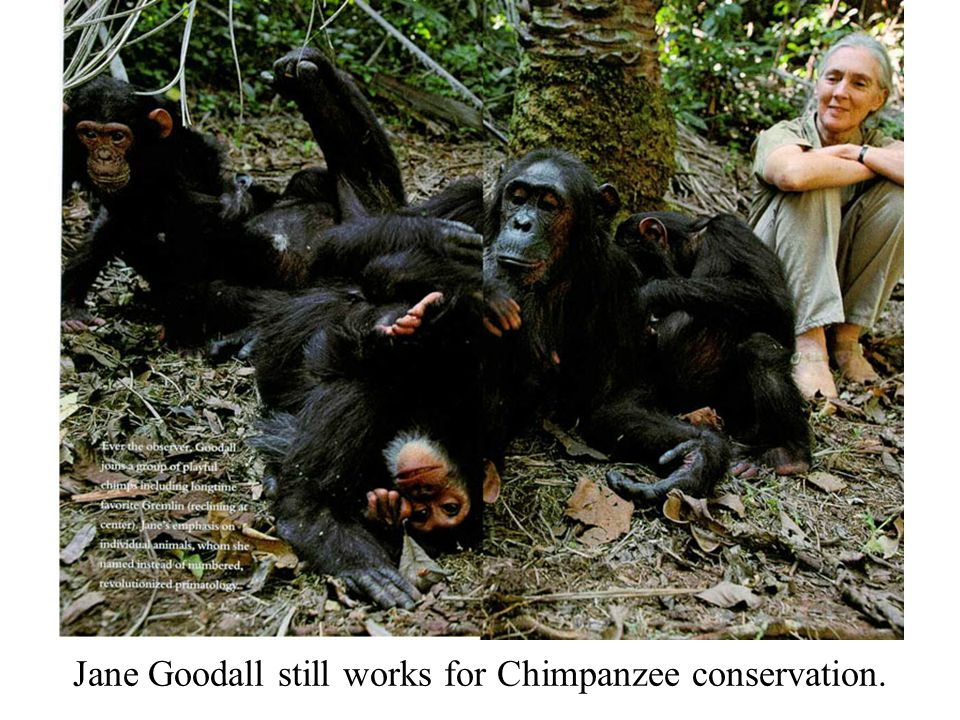 Jane Goodall still works for Chimpanzee conservation.