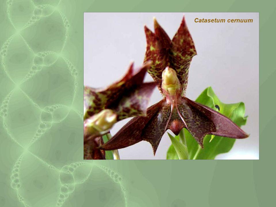 Catasetum cernuum