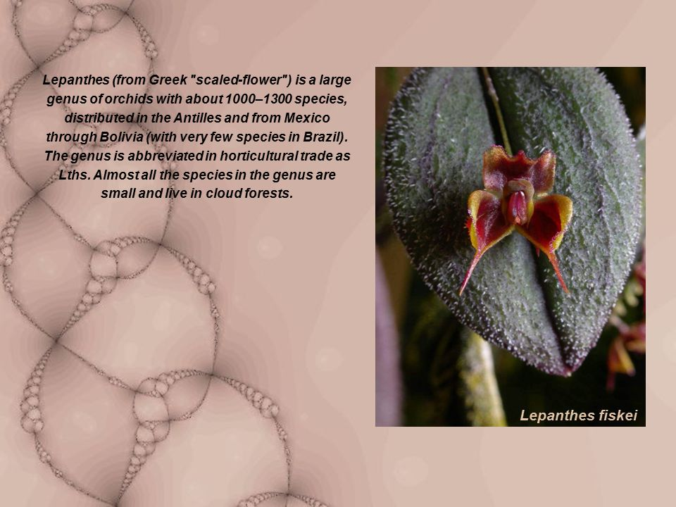 Lepanthes (from Greek scaled-flower ) is a large genus of orchids with about 1000–1300 species, distributed in the Antilles and from Mexico through Bolivia (with very few species in Brazil).
