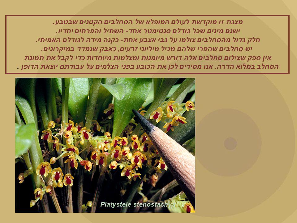 Platystele stenostachya מצגת זו מוקדשת לעולם המופלא של הסחלבים הקטנים שבטבע.