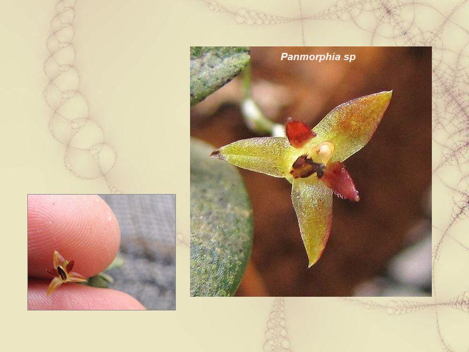 Panmorphia sp
