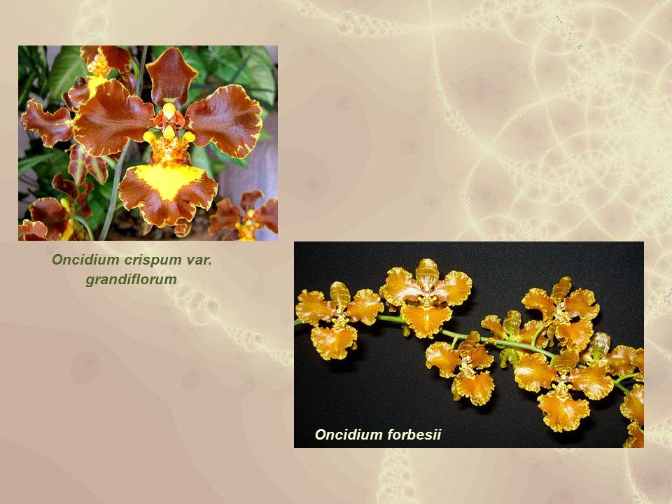 Oncidium crispum var. grandiflorum Oncidium forbesii