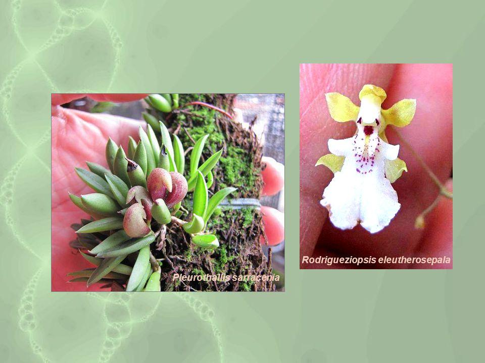 Rodrigueziopsis eleutherosepala Pleurothallis sarracenia