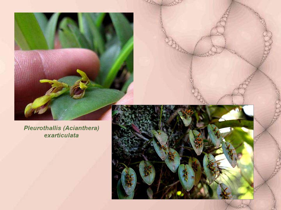 Pleurothallis (Acianthera) exarticulata