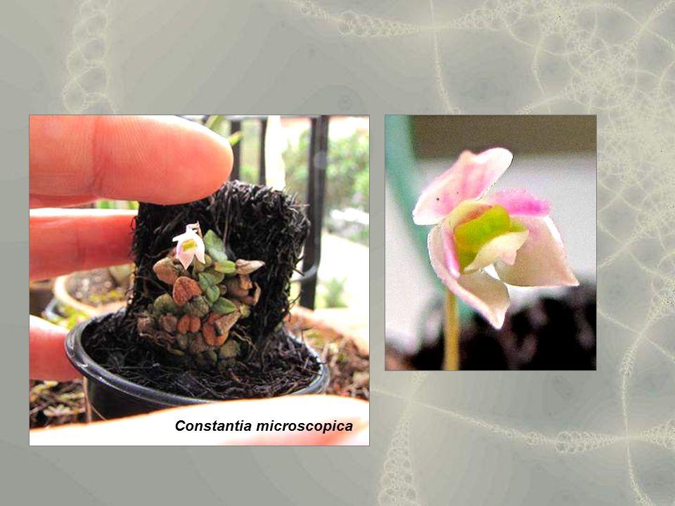 Constantia microscopica
