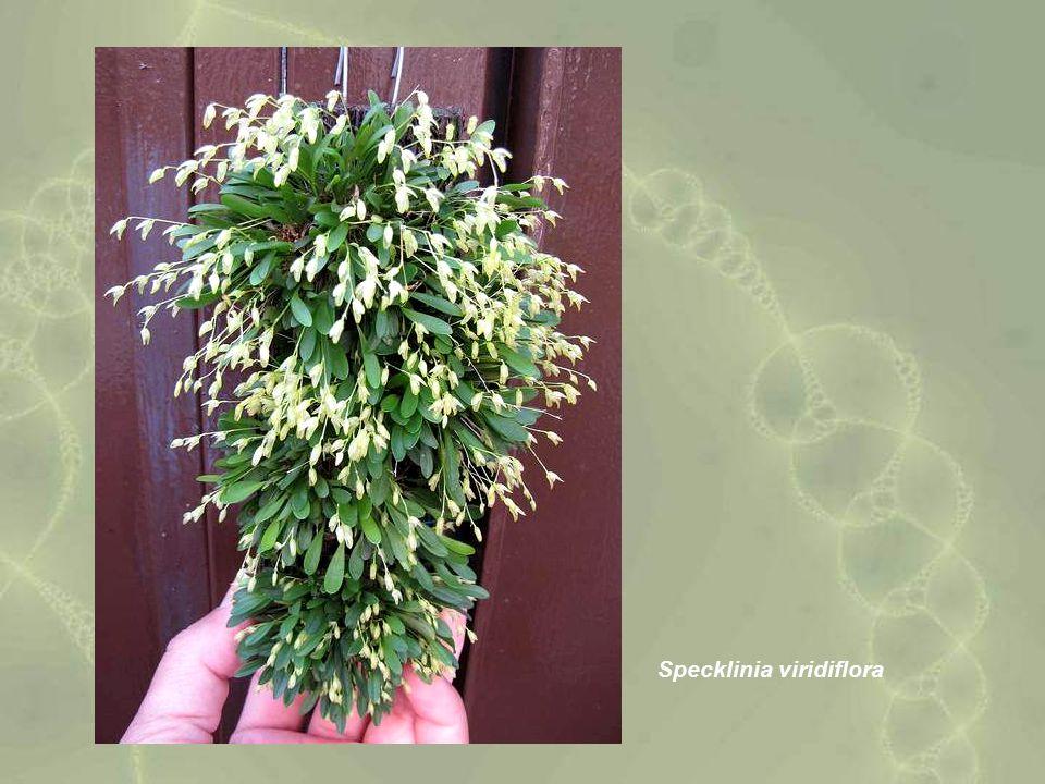 Specklinia viridiflora
