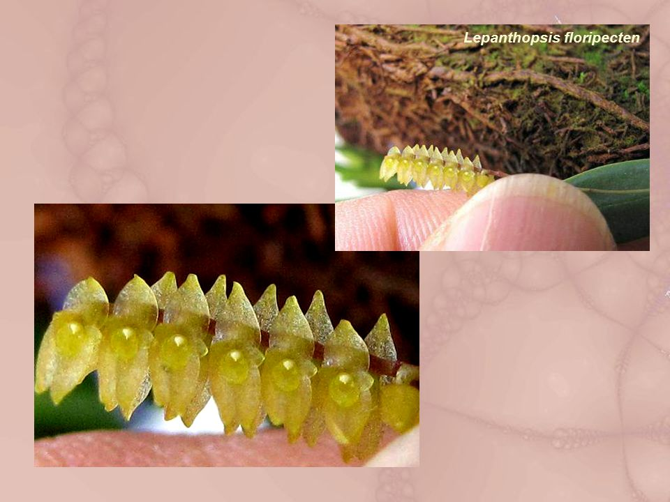 Lepanthopsis floripecten