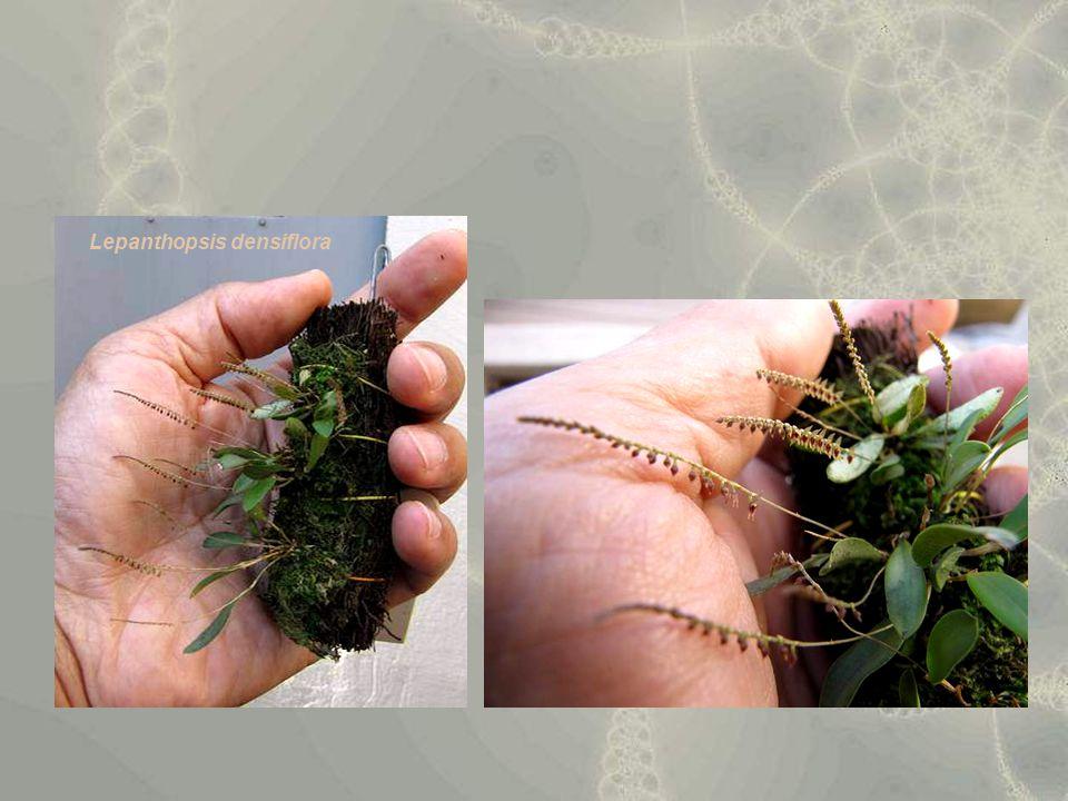 Lepanthopsis densiflora