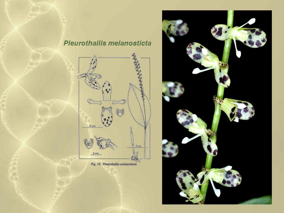 Pleurothallis melanosticta