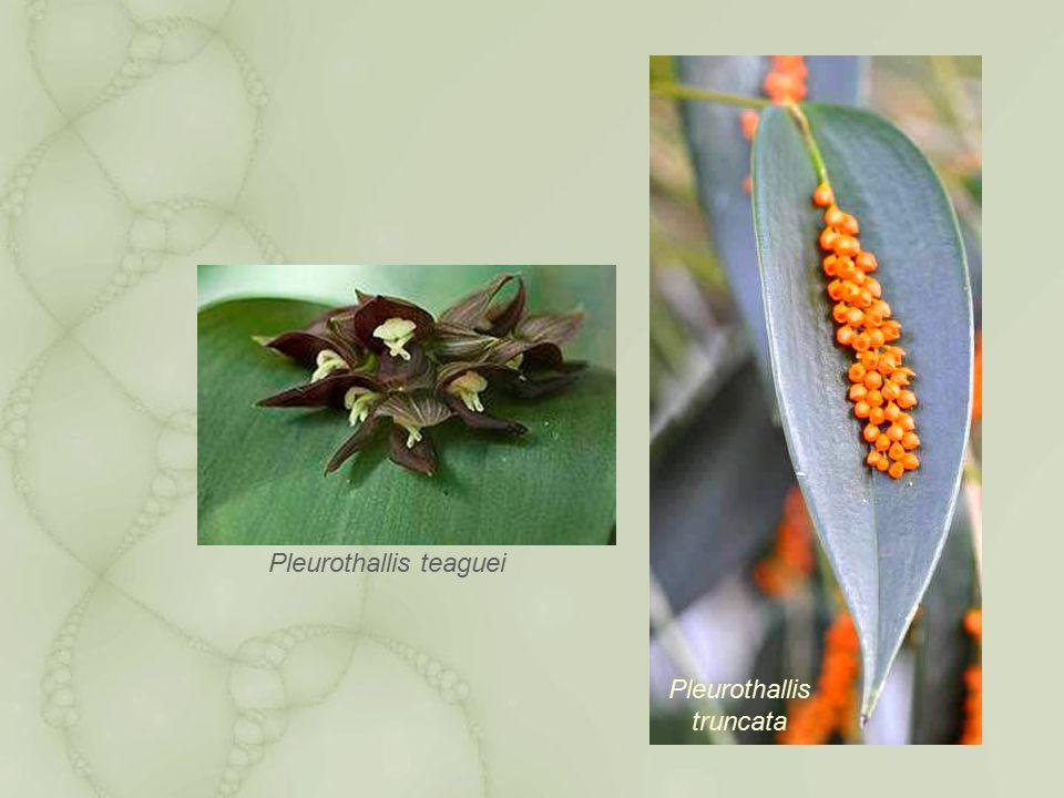 Pleurothallis teaguei Pleurothallis truncata