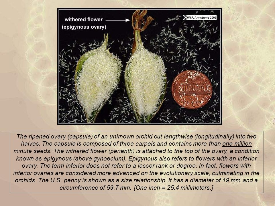 The ripened ovary (capsule) of an unknown orchid cut lengthwise (longitudinally) into two halves. The capsule is composed of three carpels and contain
