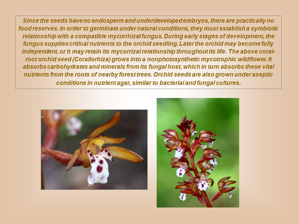 Since the seeds have no endosperm and underdeveloped embryos, there are practically no food reserves. In order to germinate under natural conditions,