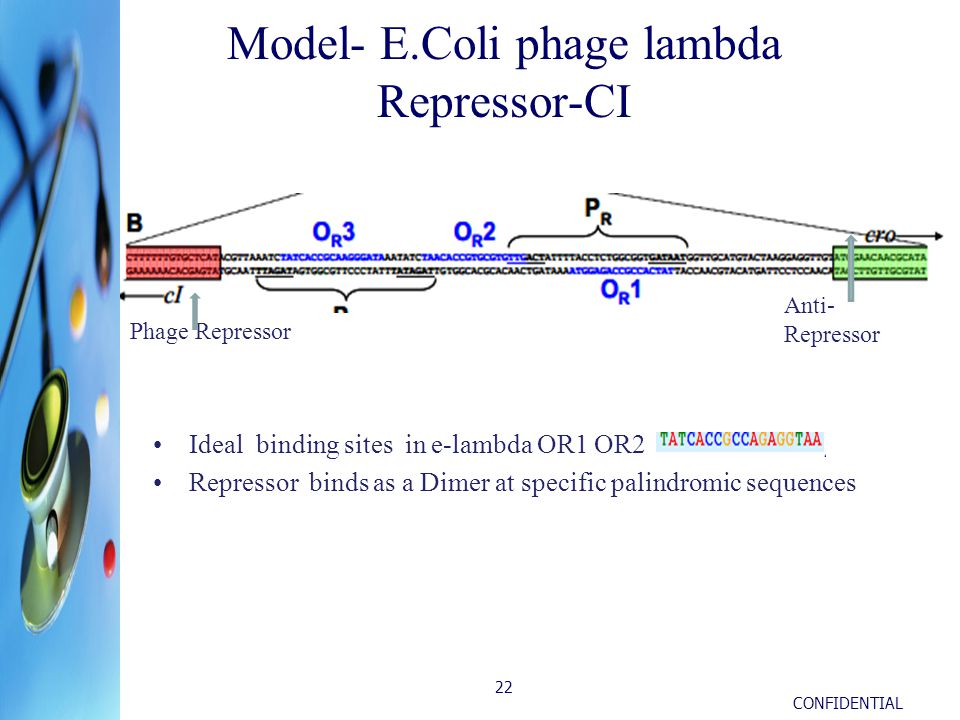 CONFIDENTIAL 22 Model- E.Coli phage lambda Repressor-CI Ideal binding sites in e-lambda OR1 OR2 Repressor binds as a Dimer at specific palindromic sequences Phage Repressor Anti- Repressor