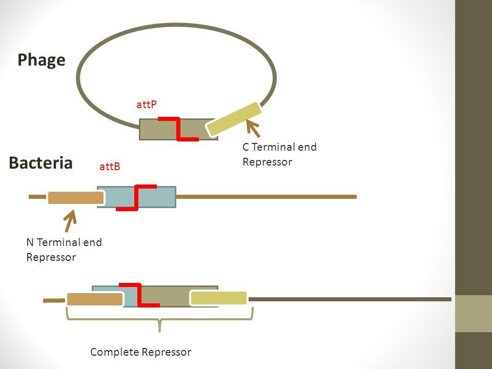 Phage Bacteria attP attB C Terminal end Repressor N Terminal end Repressor Complete Repressor