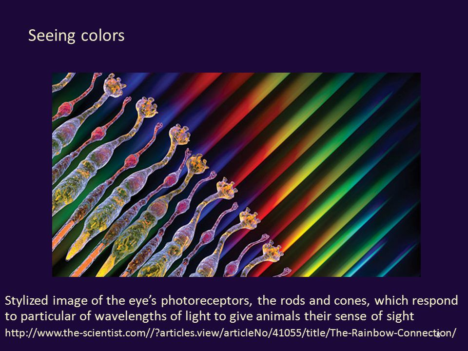 Seeing colors Stylized image of the eye's photoreceptors, the rods and cones, which respond to particular of wavelengths of light to give animals their sense of sight http://www.the-scientist.com// articles.view/articleNo/41055/title/The-Rainbow-Connection/ 8
