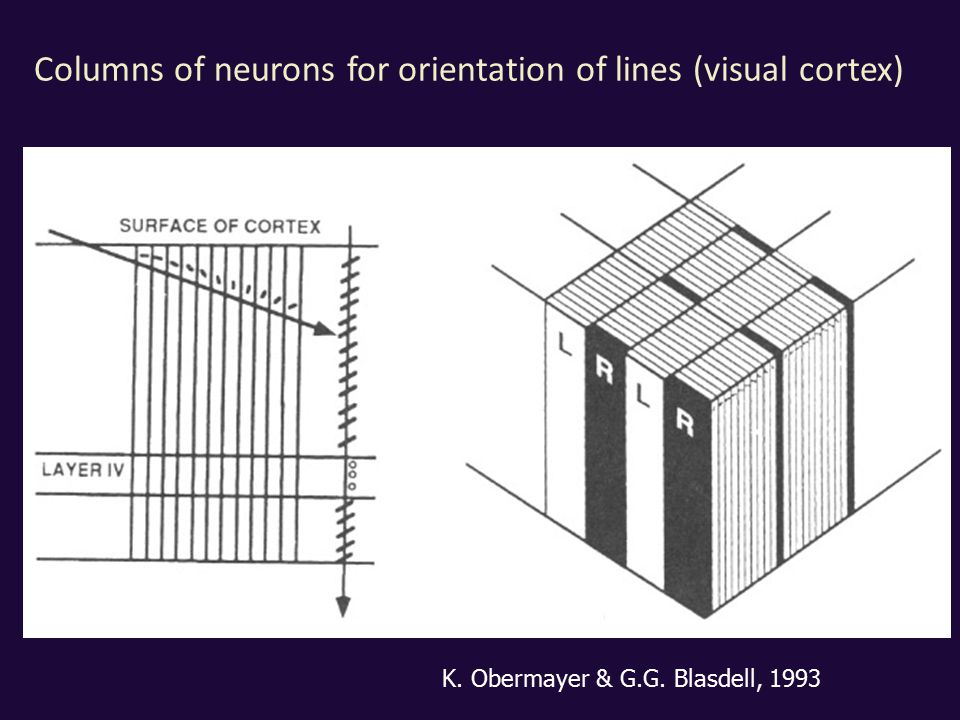 Columns of neurons for orientation of lines (visual cortex) K. Obermayer & G.G. Blasdell, 1993