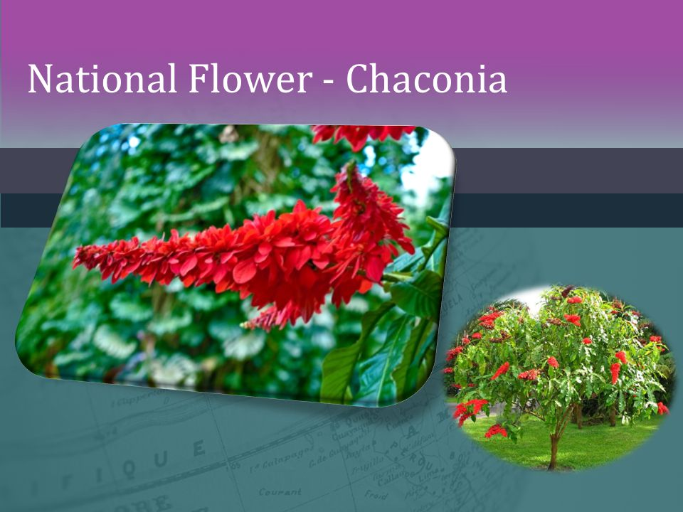 National Flower - Chaconia
