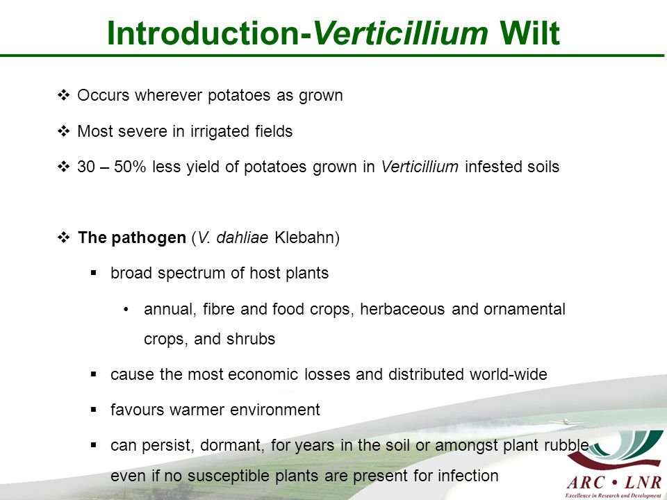 Introduction-Verticillium Wilt  Occurs wherever potatoes as grown  Most severe in irrigated fields  30 – 50% less yield of potatoes grown in Verticillium infested soils  The pathogen (V.