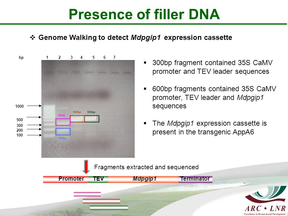 Presence of filler DNA 1 2 3 4 5 6 7 1000 500 300 200 100 bp 300bp 200bp 500bp Fragments extracted and sequenced Promoter TEVMdpgip1 Terminator  300bp fragment contained 35S CaMV promoter and TEV leader sequences  600bp fragments contained 35S CaMV promoter, TEV leader and Mdpgip1 sequences  The Mdpgip1 expression cassette is present in the transgenic AppA6  Genome Walking to detect Mdpgip1 expression cassette