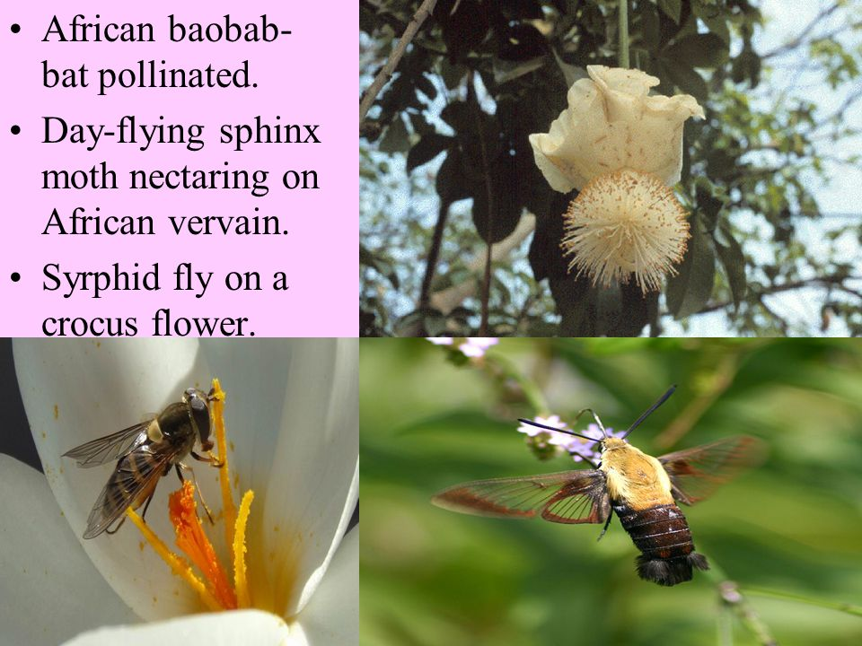 The most common pollination syndromes: Flies and generalists-open flowers, easy to reach pollen, accessible nectaries. Large amounts of pollen because