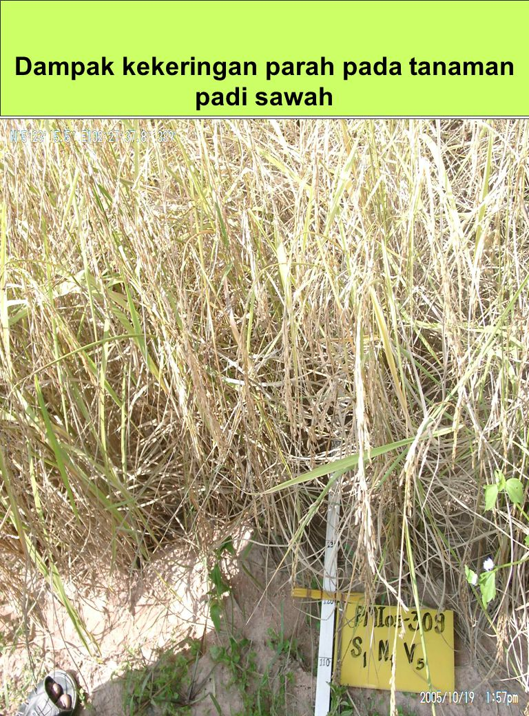 PENANAMAN PADI SISTEM LEGOWO Pola Tanam Pada areal beririgasi, lahan dapat ditanami padi 3 x setahun, tetapi pada sawah tadah hujan harus dilakukan pergiliran tanaman dengan palawija.
