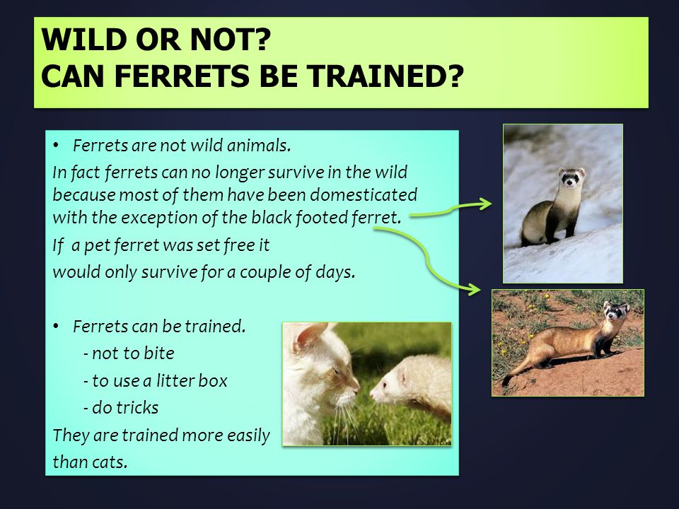 WILD OR NOT? CAN FERRETS BE TRAINED? Ferrets are not wild animals. In fact ferrets can no longer survive in the wild because most of them have been do