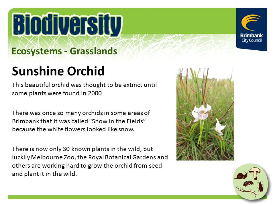 Sunshine Orchid This beautiful orchid was thought to be extinct until some plants were found in 2000 There was once so many orchids in some areas of Brimbank that it was called Snow in the Fields because the white flowers looked like snow.