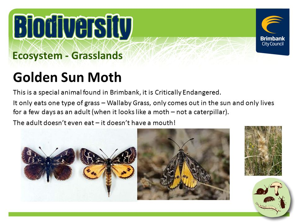 Golden Sun Moth This is a special animal found in Brimbank, it is Critically Endangered.