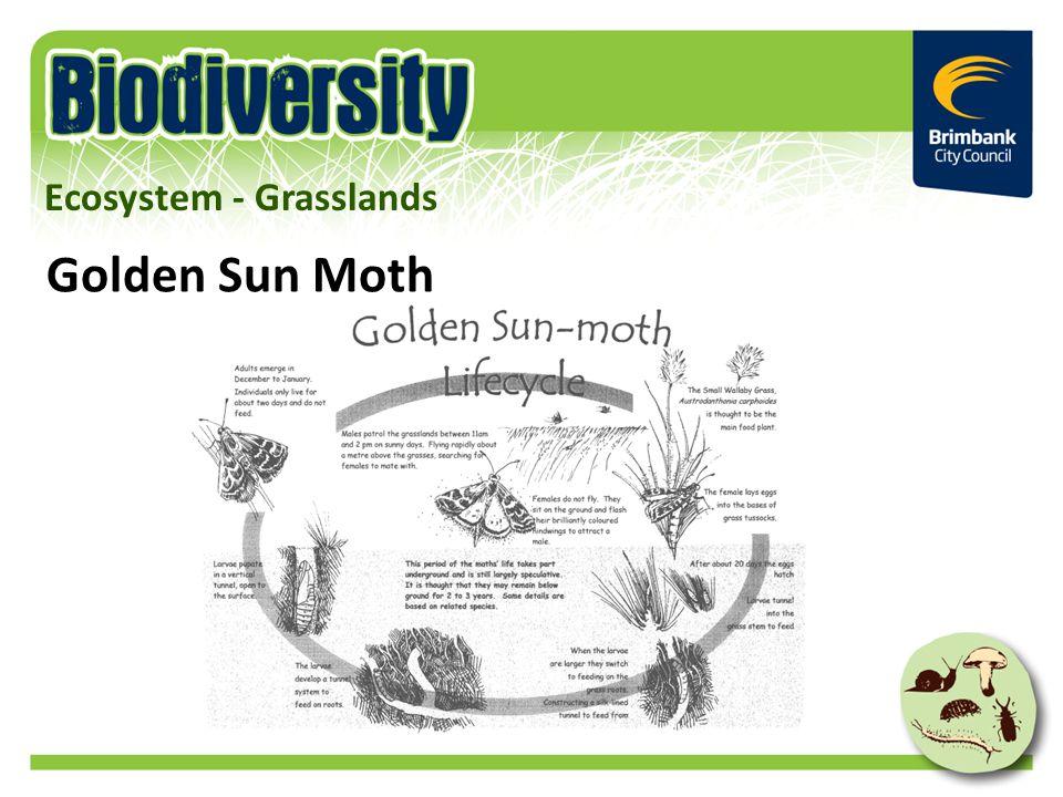 Golden Sun Moth Ecosystem - Grasslands