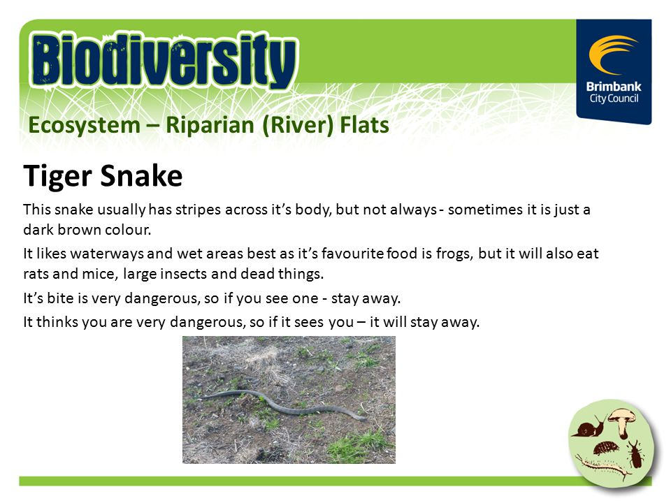 Tiger Snake This snake usually has stripes across it's body, but not always - sometimes it is just a dark brown colour. It likes waterways and wet are