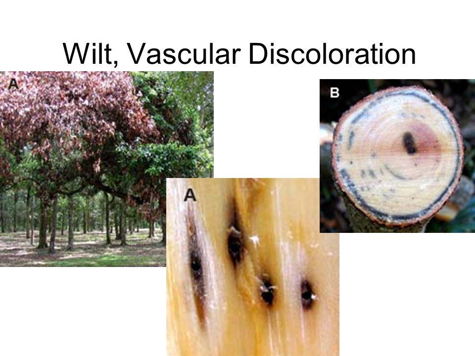 Wilt, Vascular Discoloration