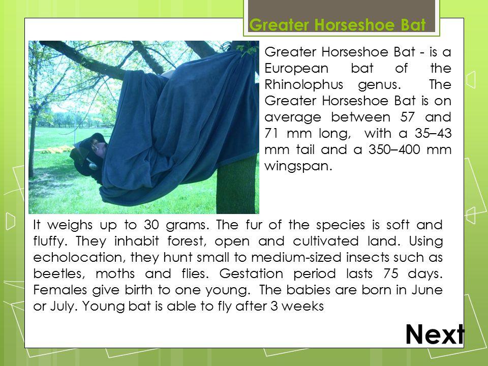 Greater Horseshoe Bat Greater Horseshoe Bat - is a European bat of the Rhinolophus genus. The Greater Horseshoe Bat is on average between 57 and 71 mm
