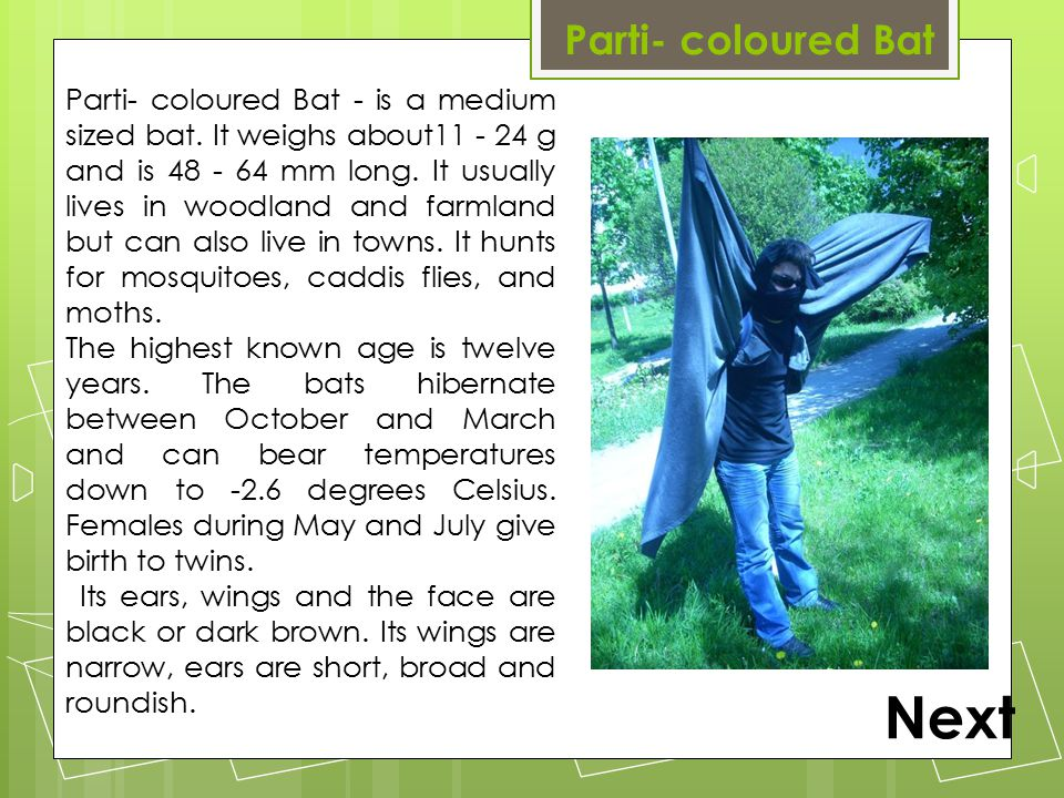 Parti- coloured Bat Parti- coloured Bat - is a medium sized bat.